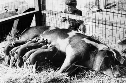 Meal time for five piglets at the county fair, 1980